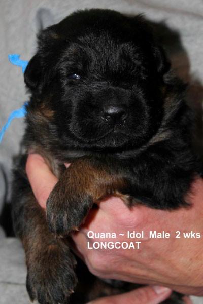 Breeing Female V Quana vom Mittelwest - Progeny 25