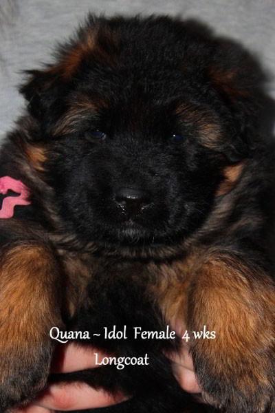 Breeing Female V Quana vom Mittelwest - Progeny 29