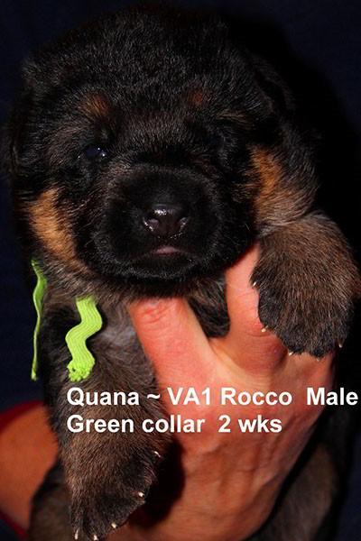 Breeing Female V Quana vom Mittelwest - Progeny 35