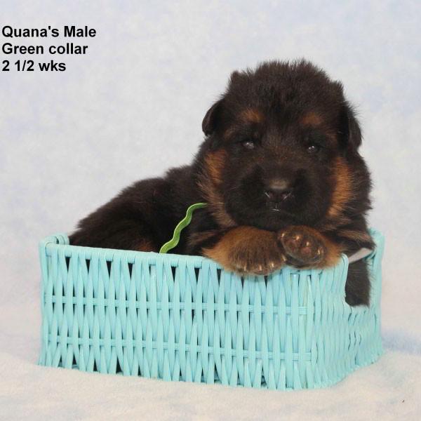 Breeing Female V Quana vom Mittelwest - Progeny 40
