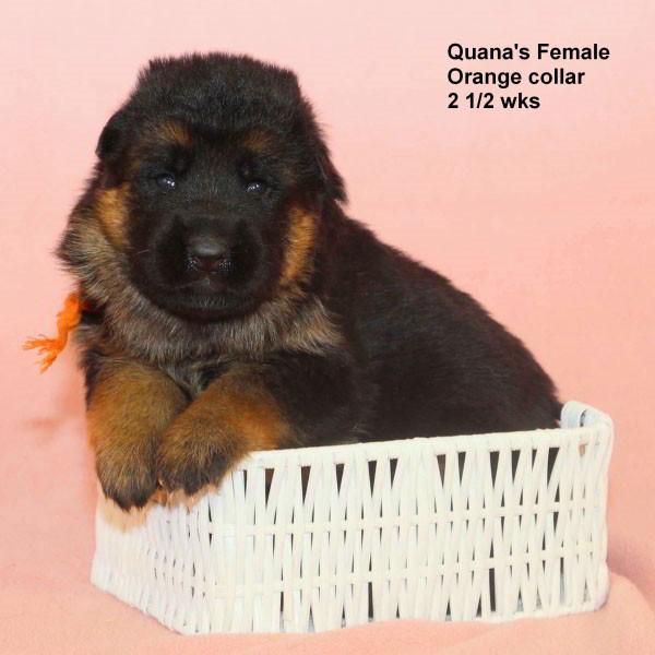 Breeing Female V Quana vom Mittelwest - Progeny 41