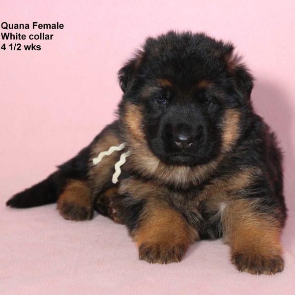 Breeing Female V Quana vom Mittelwest - Progeny 53