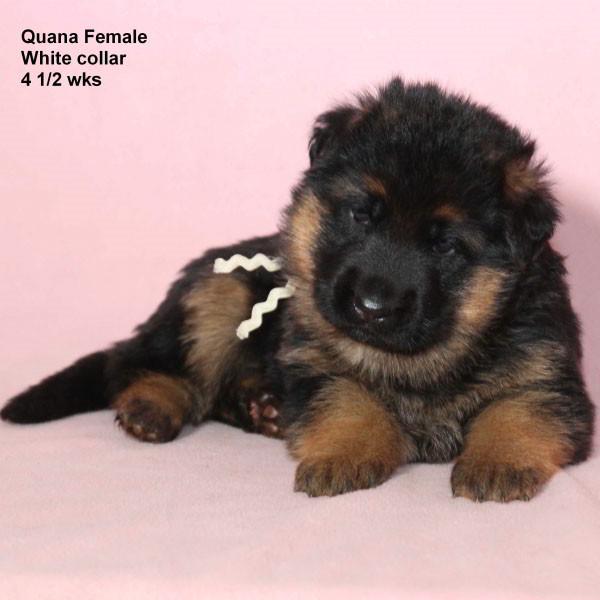 Breeing Female V Quana vom Mittelwest - Progeny 54