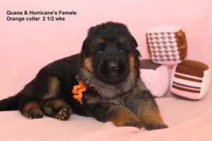 Breeing Female V Quana vom Mittelwest - Progeny 7