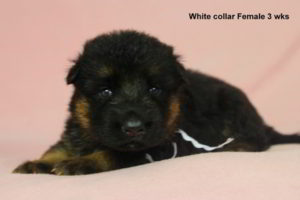 Breeing Female Sochi vom Mittelwest - Progeny 19
