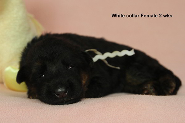 Breeing Female Sochi vom Mittelwest - Progeny 8