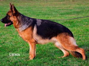 Mittelwest's Retired Breeding Females - VA Tiara vom Mittelwest