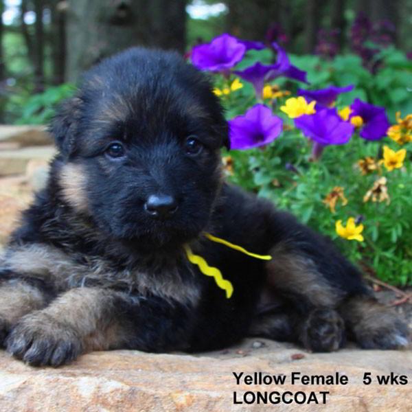 Breeing Female V Yoshi vom Mittelwest - Progeny 23