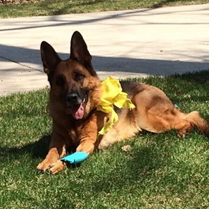 Client Testimonials Of Mittelwest German Shepherds Anne Meagher