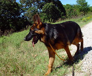 Client Testimonials Of Mittelwest German Shepherds Ava 2