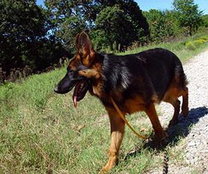 Client Testimonials Of Mittelwest German Shepherds Ava 2