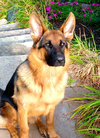 Client Testimonials Of Mittelwest German Shepherds Bendickson Family