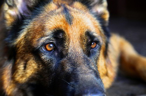 Client Testimonials Of Mittelwest German Shepherds Courtney Randolph