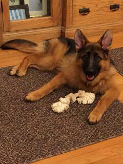 Client Testimonials Of Mittelwest German Shepherds Kathy - Owner Of Marta