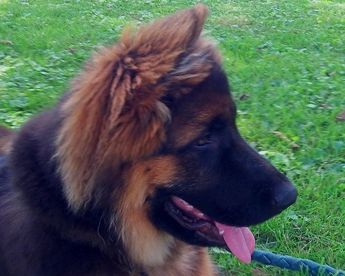 Client Testimonials Of Mittelwest German Shepherds Lori Ash
