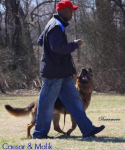 Client Testimonials Of Mittelwest German Shepherds Malik Johnson