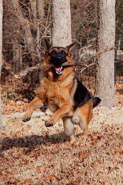Client Testimonials Of Mittewest German Shepherds Tom Hansen 2