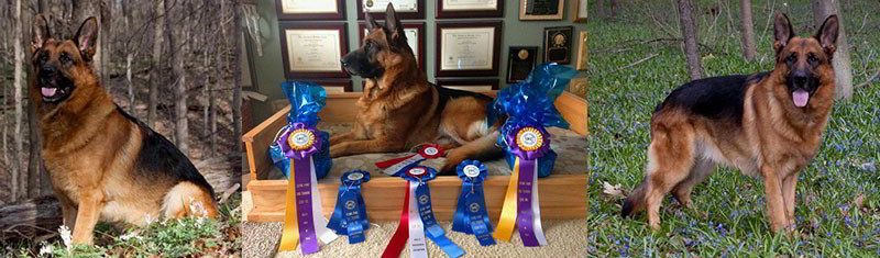 Contact Mittelwest For The Finest German Shepherds In The World