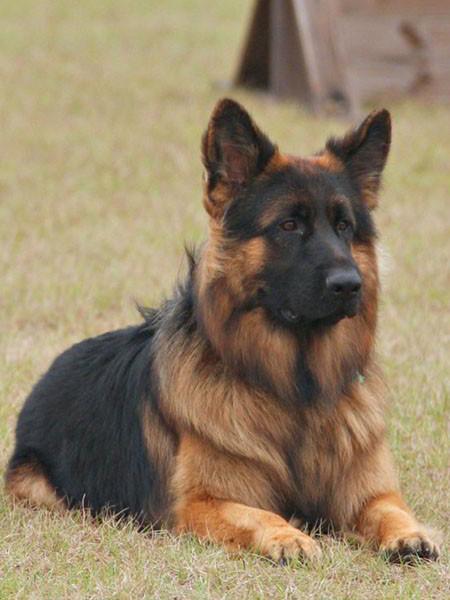 Mittelwest German Shepherd Dogs For Sale