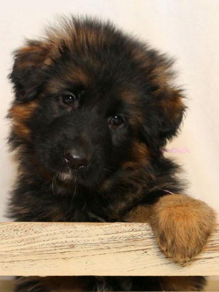 Mittelwest German Shepherd Puppies For Sale