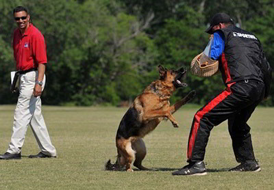 German Shepherd Schutzhund Training At Its Finest
