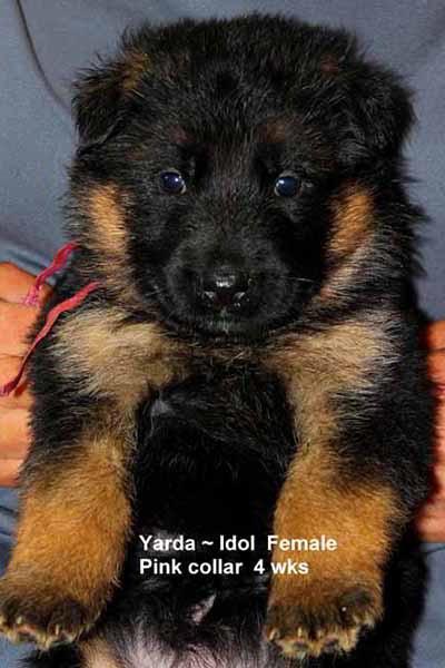 Champion Stud V Idol Von Der Zenteiche - Progeny 58