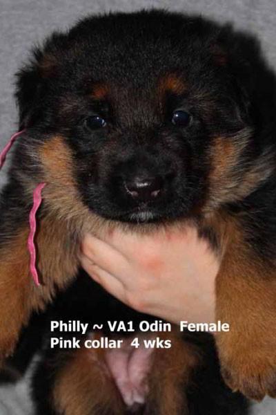 Champion Stud VA Odin vom Mittelwest - Progeny 11