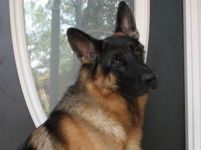 Client Testimonials Of Mittelwest German Shepherds Gary & Kalen 2
