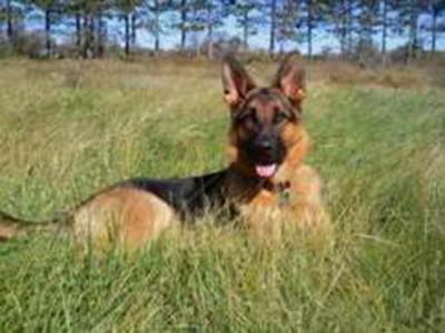 Client Testimonials Of Mittelwest German Shepherds Tinaki