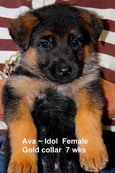 Retired Breeing Female V1 Ava vom Mittelwest - Progeny 50