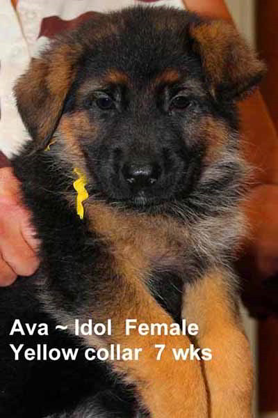 Retired Breeing Female V1 Ava vom Mittelwest - Progeny 52