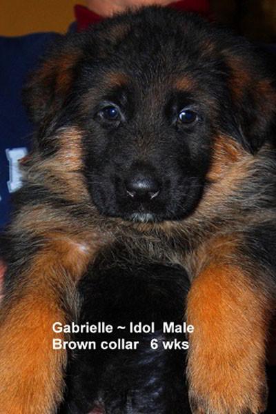 Retired Breeing Female V1 Gabrielle vom Mittelwest - Progeny 11