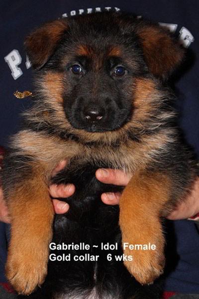 Retired Breeing Female V1 Gabrielle vom Mittelwest - Progeny 12