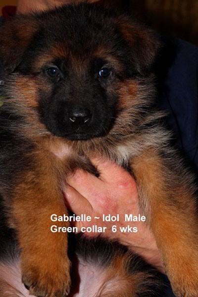 Retired Breeing Female V1 Gabrielle vom Mittelwest - Progeny 13