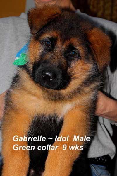 Retired Breeing Female V1 Gabrielle vom Mittelwest - Progeny 18
