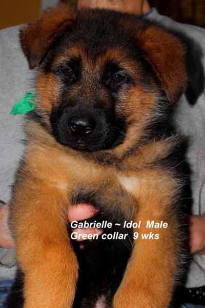 Retired Breeing Female V1 Gabrielle vom Mittelwest - Progeny 19