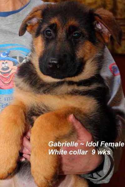 Retired Breeing Female V1 Gabrielle vom Mittelwest - Progeny 20