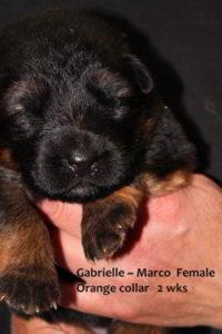 Retired Breeing Female V1 Gabrielle vom Mittelwest - Progeny 24
