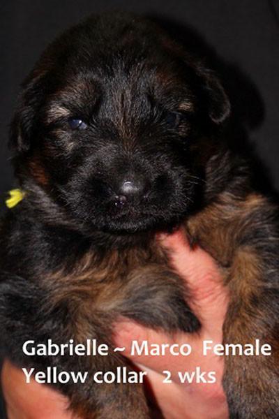 Retired Breeing Female V1 Gabrielle vom Mittelwest - Progeny 27