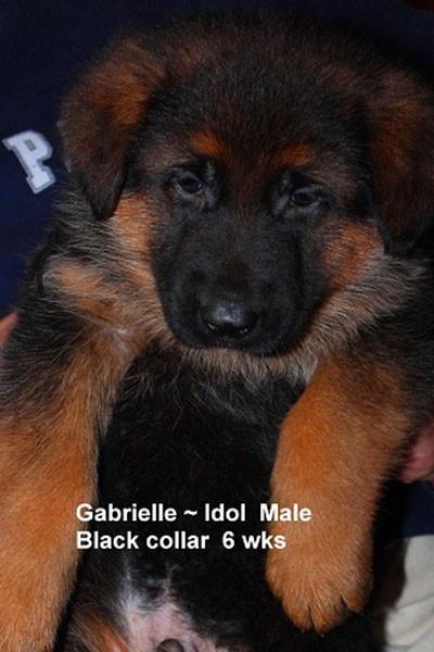 Retired Breeing Female V1 Gabrielle vom Mittelwest - Progeny 9