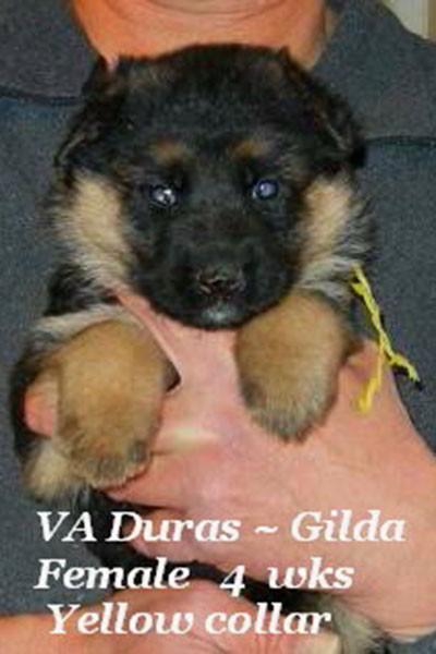 Retired Breeing Female Gilda vom Mittelwest - Progeny 19