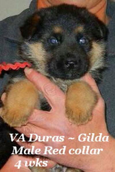 Retired Breeing Female Gilda vom Mittelwest - Progeny 21