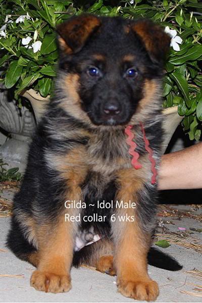 Retired Breeing Female Gilda vom Mittelwest - Progeny 37