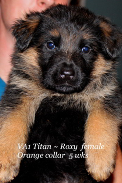 Retired Breeing Female V1 Roxy vom Mittelwest - Progeny 2