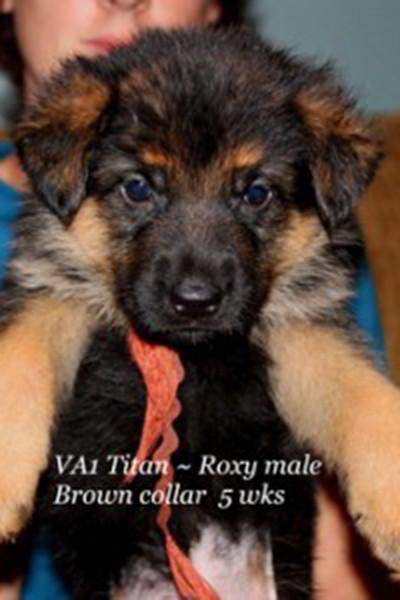 Retired Breeing Female V1 Roxy vom Mittelwest - Progeny 7