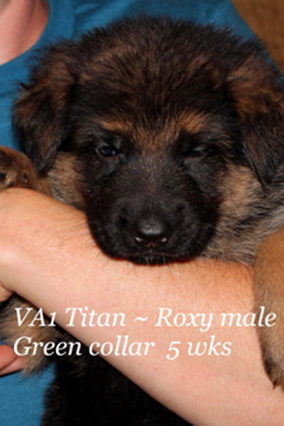 Retired Breeing Female V1 Roxy vom Mittelwest - Progeny 8
