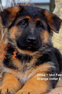 Retired Breeing Female V1 Urma vom Mittelwest - Progeny 18