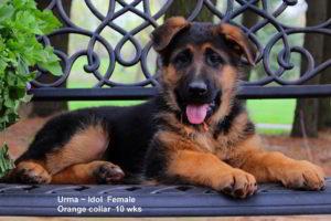 Retired Breeing Female V1 Urma vom Mittelwest - Progeny 2