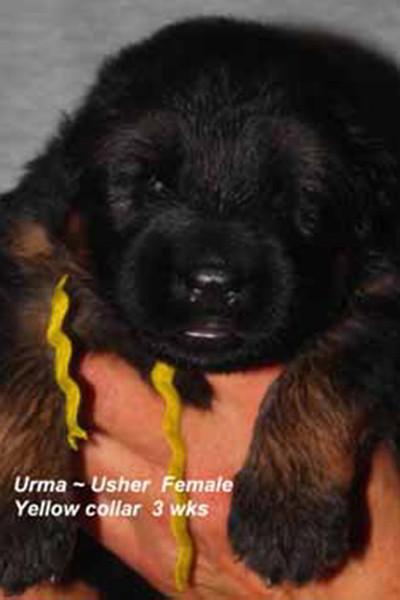 Retired Breeing Female V1 Urma vom Mittelwest - Progeny 34
