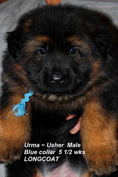 Retired Breeing Female V1 Urma vom Mittelwest - Progeny 39